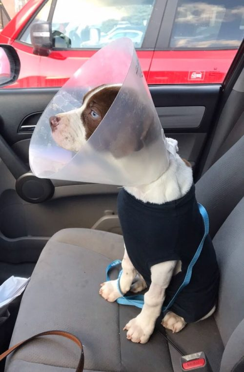 Dog sitting in passenger seat of a car with a doggy cone on its head